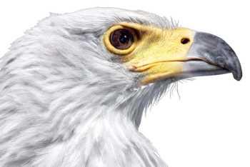 Белоголовый морской орёл.