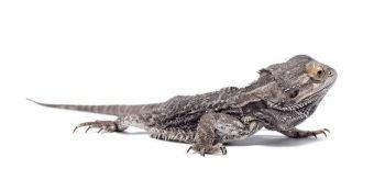 Бородатый австралийский дракон