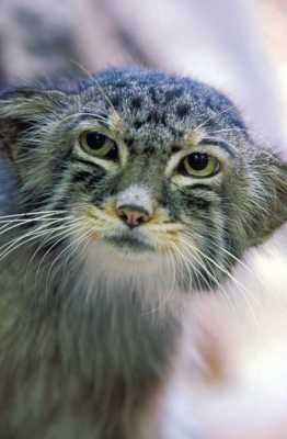 дикий кот (Felis silvestris)