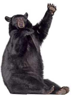 Чёрный американский медведь