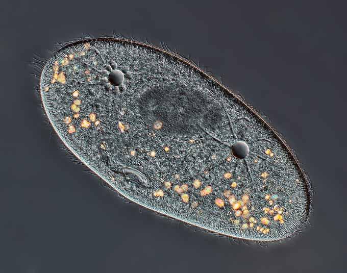 инфузория туфелька под микроскопом, фото