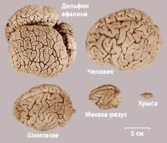 сравнительные размеры мозга человека и некоторых животных